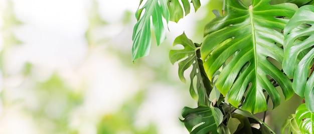 Monstera de folhas tropicais.