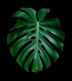 Monstera deliciosa folha tropical isolada no fundo preto com traçado de recorte