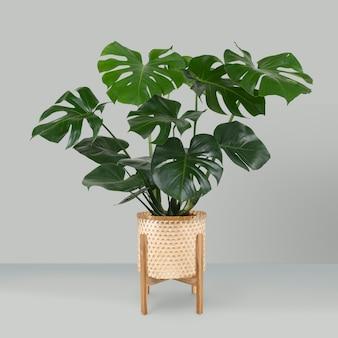 Monstera deliciosa planta em um vaso