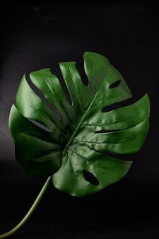 Monstera folhas em um fundo preto, monstera é uma planta que tem lóbulos verdes e grandes. é muito comum decorar.