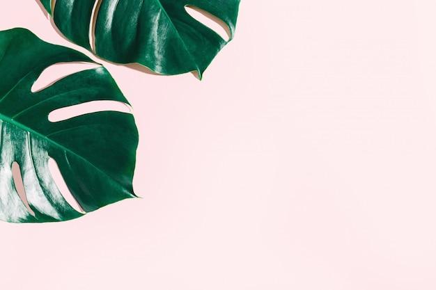Monstera folhas verdes em rosa