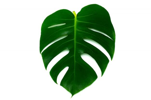 Monstera miltiple deixa as folhas isoladas no fundo branco. design plano leigo