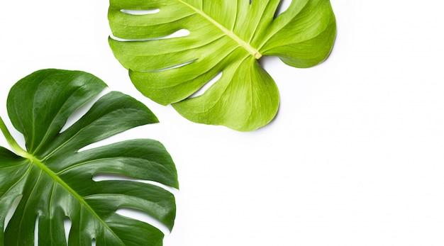 Monstera planta folhas em branco