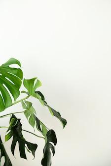 Monstera verde sai por uma parede branca