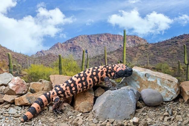 Monstro de gila escalando rochas pelo deserto do arizona