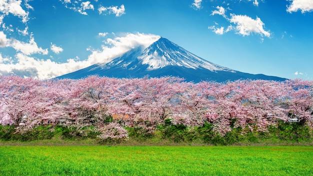 Montanha fuji e flor de cerejeira na primavera, japão.
