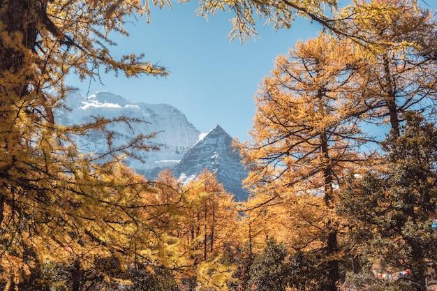 Montanha sagrada xiannairi na floresta de pinheiros dourados em yading