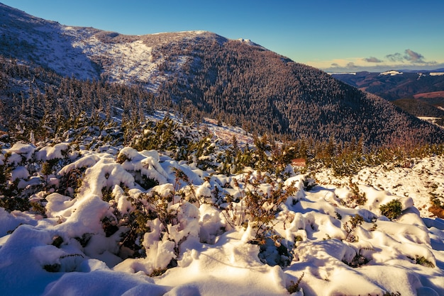 Montanhas e colinas cobertas de neve dos cárpatos com enormes montes de neve branca como a neve e árvores perenes iluminadas pelo sol frio e brilhante