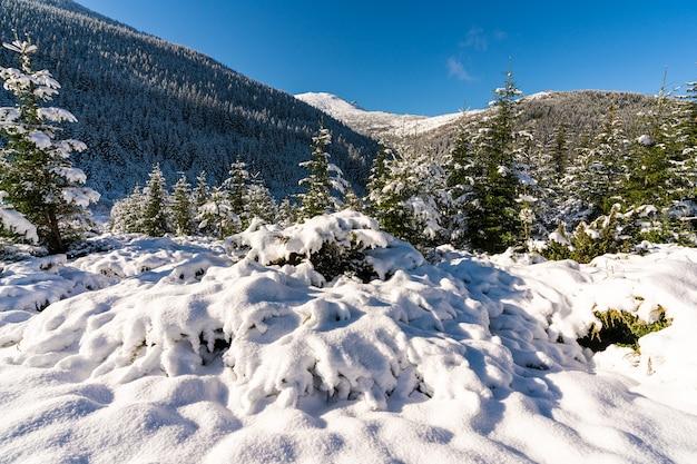 Montanhas e colinas cobertas de neve dos cárpatos com enormes montes de neve de neve branca e árvores de natal perenes iluminadas pelo sol frio e brilhante