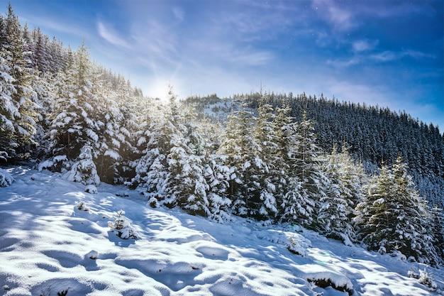 Montanhas e colinas dos cárpatos com montes de neve branca como a neve e árvores perenes iluminadas pelo sol forte