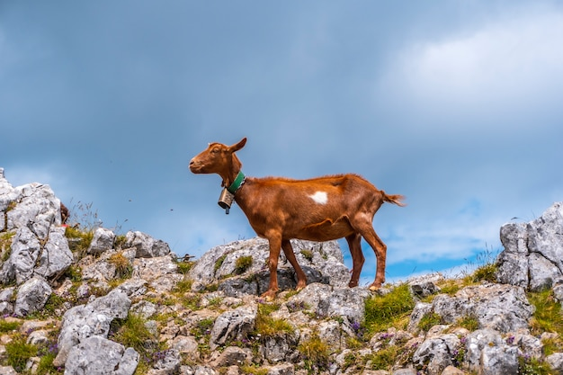 Monte aizkorri 1523 metros, o mais alto de guipuzcoa. país basco. suba por san adrian e retorne pelos campos de oltza. uma bela cabra marrom no topo da montanha