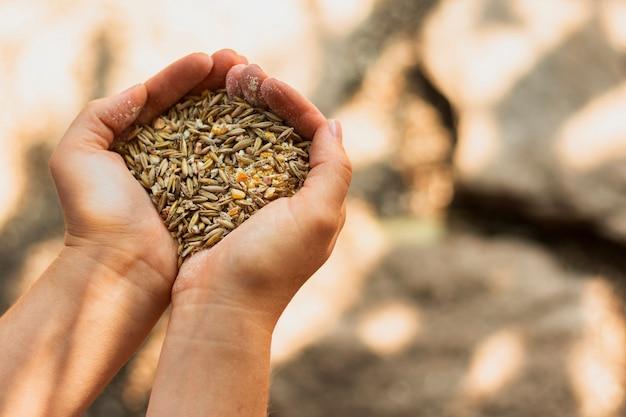 Monte de sementes de trigo nas mãos de uma pessoa