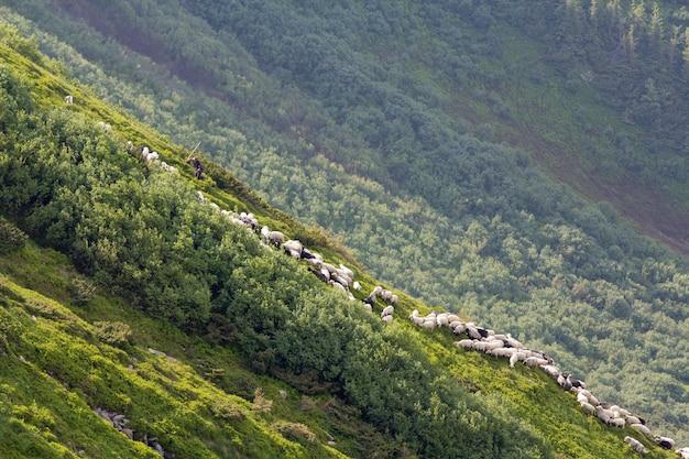 Monte íngreme gramíneo verde com a silhueta pequena do pastor do homem que guia o rebanho grande dos carneiros e dos cordeiros na floresta nevoenta dos pinheiros cultivando e produzindo carneiros no conceito das condições difíceis.