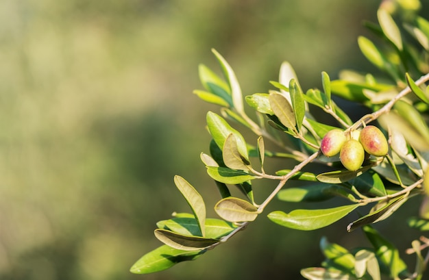 Monte verde-oliva com azeitonas jovens verdes na turva. azeitonas verdes na oliveira. copie o espaço