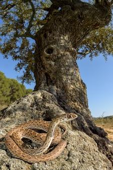 Montpellier, cobra, (malpolon, monspessulanus), femininas, em, um, oliveira