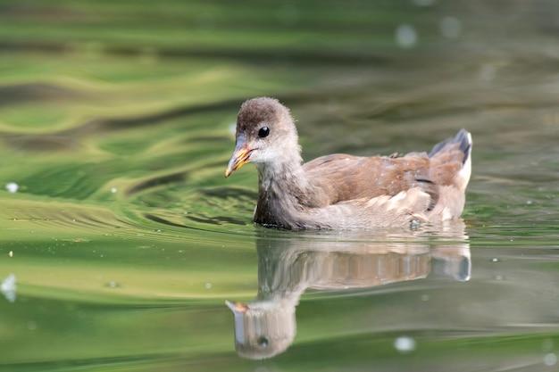 Moorhen comum jovem, gallinula chloropus, na lagoa.