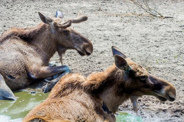 Moose no zoológico