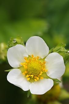Morango em flor com gotas de orvalho fotografado em close-up