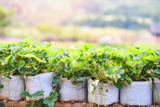 Morango em pote com folhas verdes no jardim - plante morangos de árvores no campo crescendo na agricultura