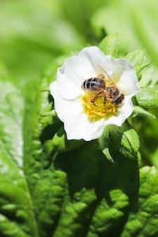 Morango florescendo com abelha em uma fazenda orgânica