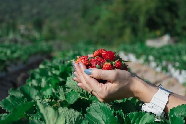 Morango na mão de um agricultor de frutas.