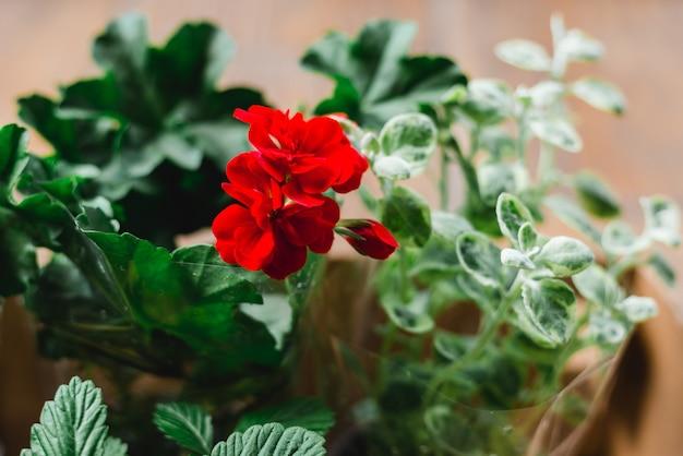Morango, planta pelargonium em vasos com fundo de madeira, jardinagem urbana na varanda do apartamento, conceito de jardim doméstico, foco seletivo