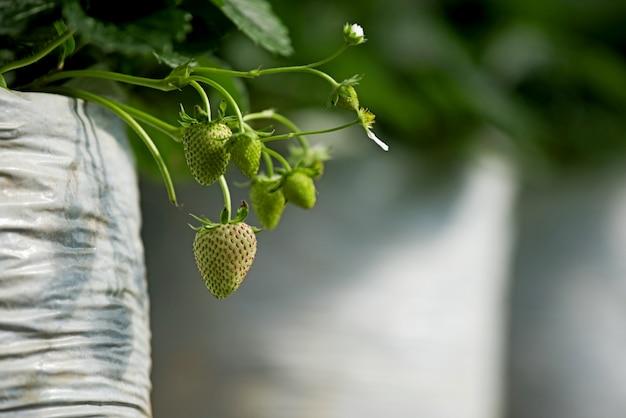 Morango verde novo em sua filial com planta da folha