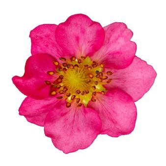 Morangos de flor rosa isolados. o broto de uma planta em flor é fotografado em close-up.