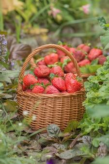 Morangos em dia de sol. vários morango suculento com folhas em uma cesta. morangos recém colhidos em uma cesta
