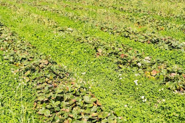 Morangos em fileiras no campo