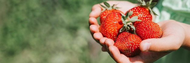 Morangos maduros nas mãos de uma menina de criança na fazenda orgânica de morango, pessoas colhendo morangos na temporada de verão, colheita de frutas.