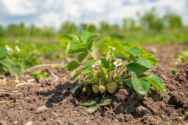 Morangos orgânicos na fazenda cultivados sem produtos químicos
