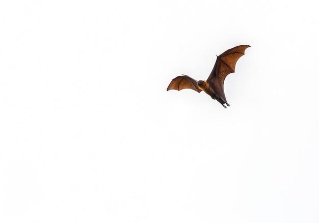 Morcego em fundo branco