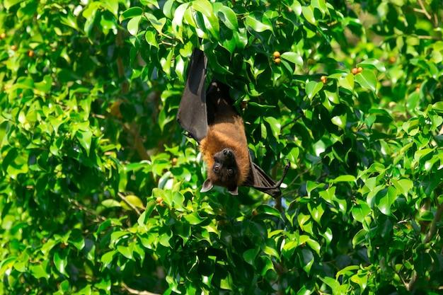 Morcego pendurado em um galho de árvore morcego malaio