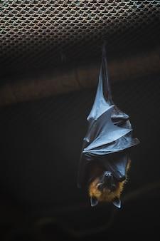 Morcego que pendura na gaiola de aço no jardim zoológico aberto de khao kheow em tailândia.