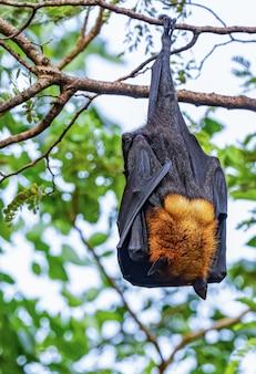 Morcegos estão descansando na árvore
