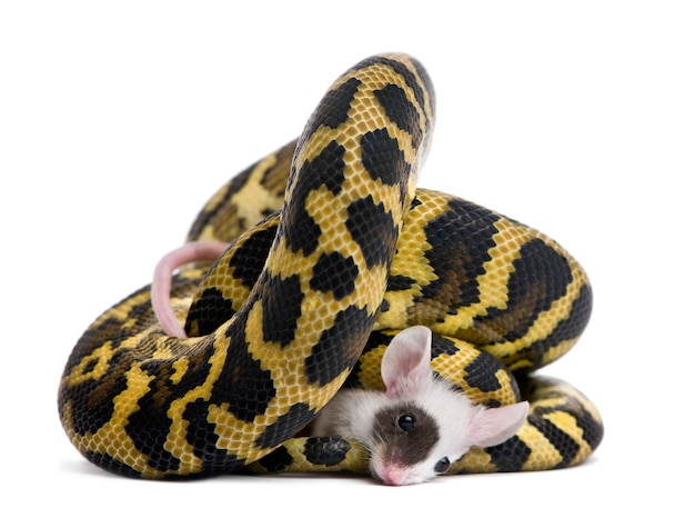 Morelia spilota variegata python, comendo rato
