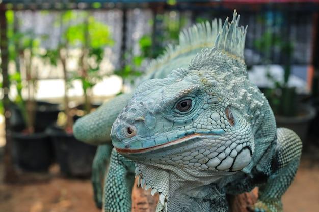 Morfina hipomelaniana iguana