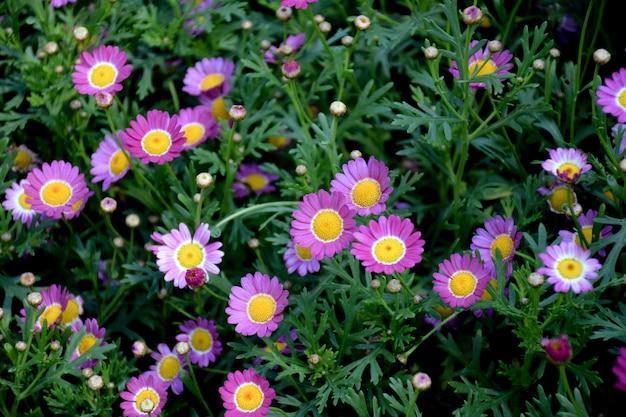 Morifolium do crisântemo, margarida dos floristas, flores cor-de-rosa, fundo natural.
