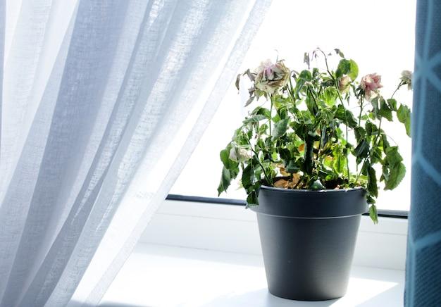 Morrendo rosas em casa no pote na borda da janela de uma casa moderna.