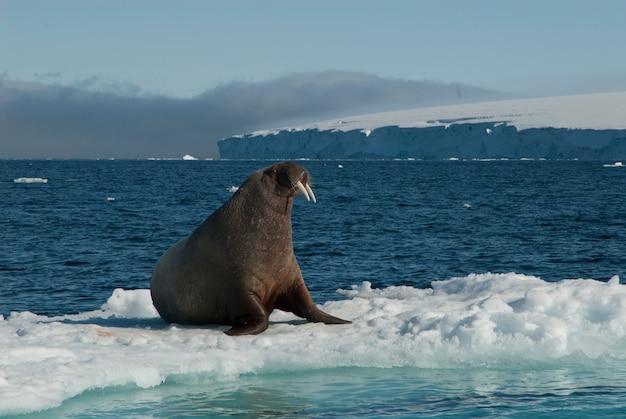 Morsa em um bloco de gelo