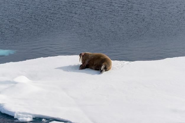 Morsa no gelo