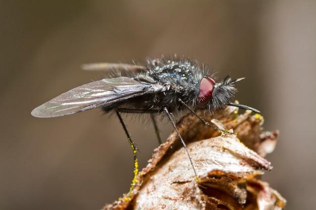 Mosca bombyliidae