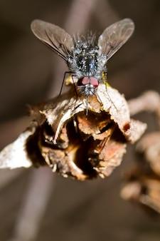 Mosca da abelha de bombylius