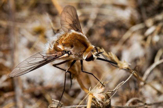 Mosca de abelha principal de bombyliidae