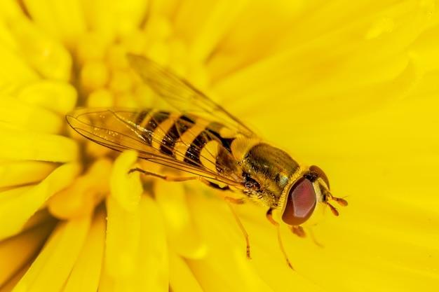 Mosca de inseto voando sobre uma macro fotografia de close-up de uma flor de crisântemo em um dia ensolarado de outono no jardim