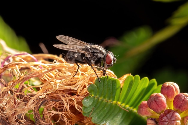 Mosca doméstica adulta da família muscidae