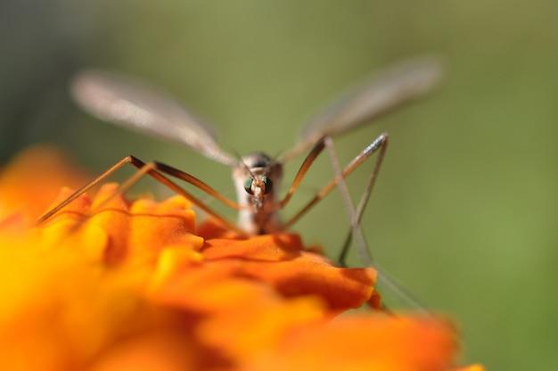 Mosca-guindaste (tipulidae) sentada em uma flor de jardim cor de laranja