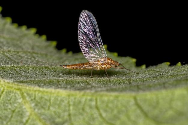Mosca pequena fêmea do gênero gênero baetis