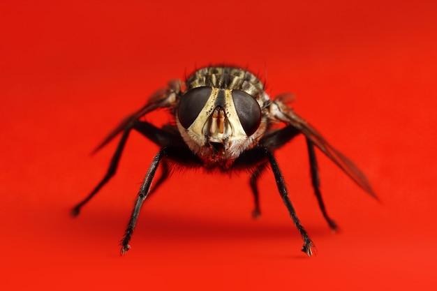 Mosca única. foto macro de mosca na superfície vermelha
